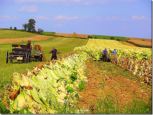 Tobacco harvesting 3