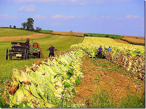 Tobacco harvesting 3