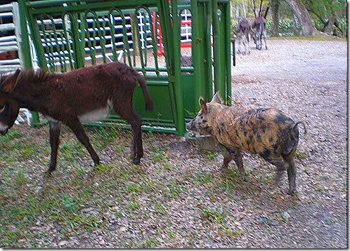 Pig and donkey 2