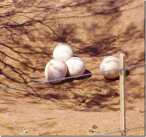 Osterich egg nest