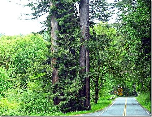 Redwoods and sharp turn
