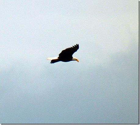 Eagle flying 3