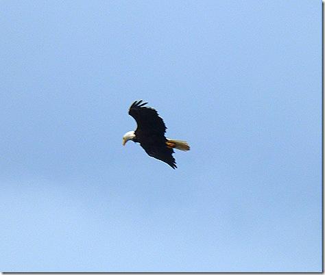 Eagle flying 5