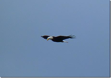 Eagle flying 6