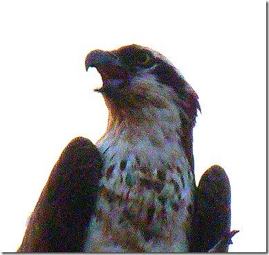 Osprey 5