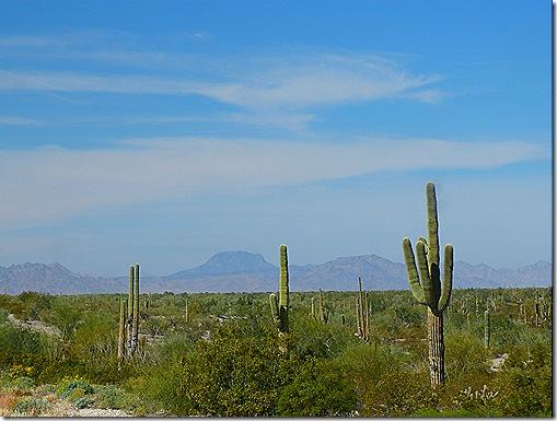Saguaros 2