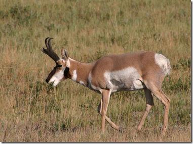Antelope 11