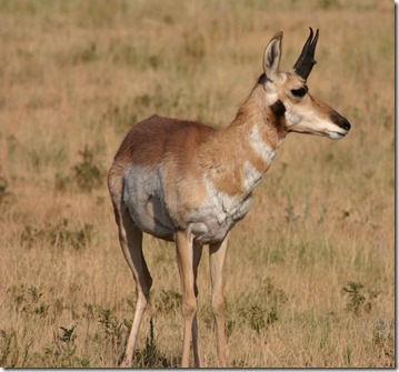 Antelope 13