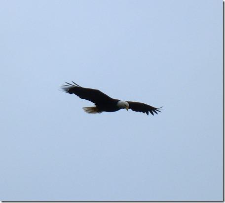Eagle flying 4