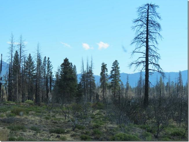Burned tree 2