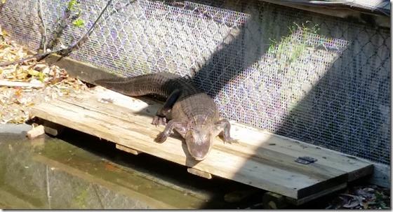 Gator sunning