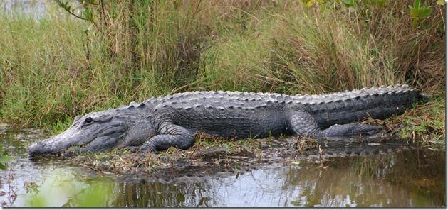 Big gator 4