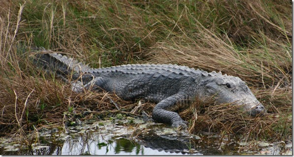 Gator by water