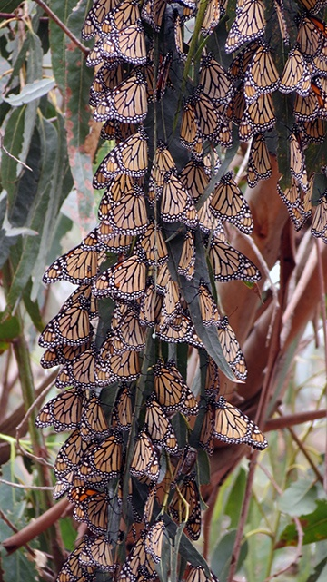 Butterfly clump 3 small