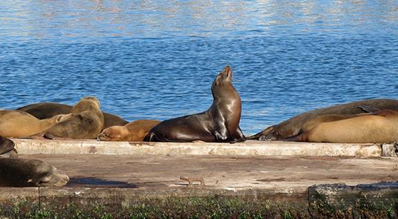 Sea Lions small