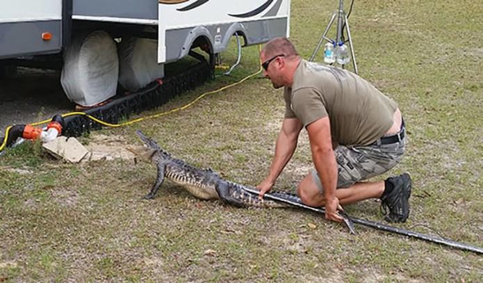 Gator caught small