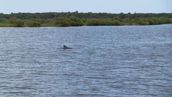 Dolphin small