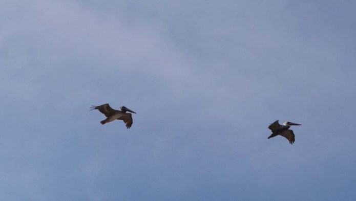 two-pelicans