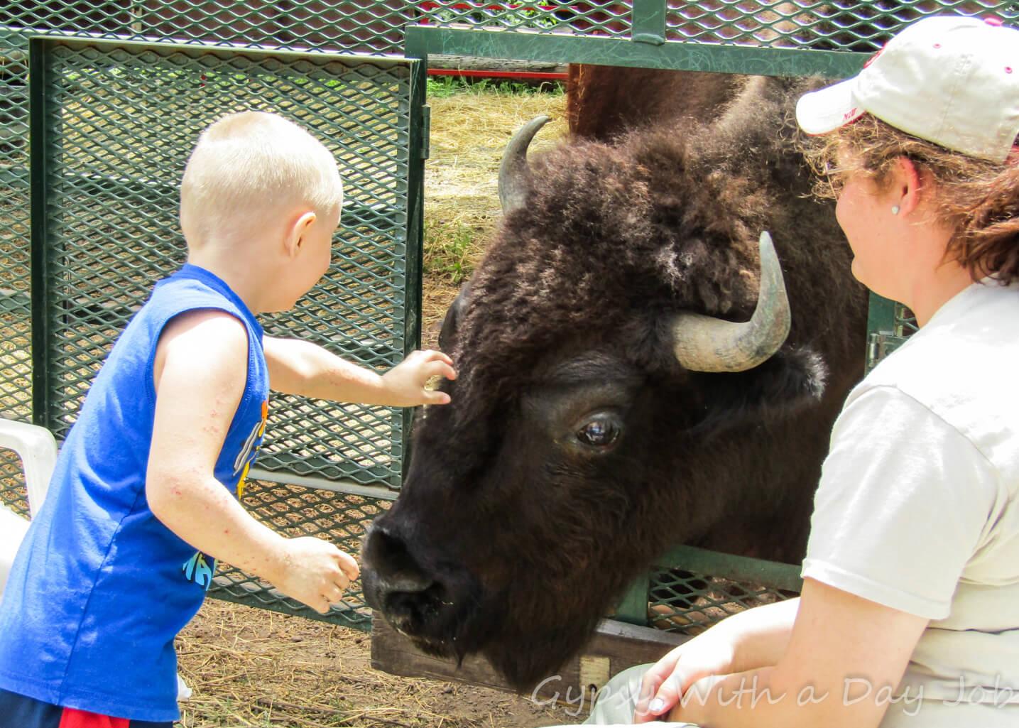 Bison Olde English Renaisance Wildlife Priaire