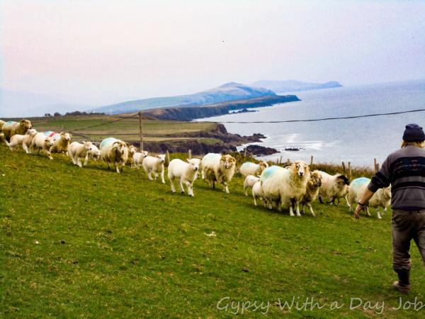 Sheep Farmer on the Atlantic Coast of Ireland.