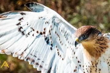 Ferruginous Hawk, Descending