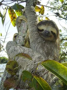 Three-Toed Sloth By Stefan Laube (Tauchgurke) - Public Domain.