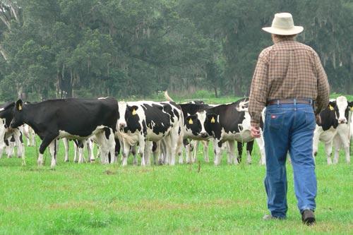 Cattle - CITA