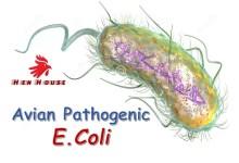 Avian Pathogenic E.coli