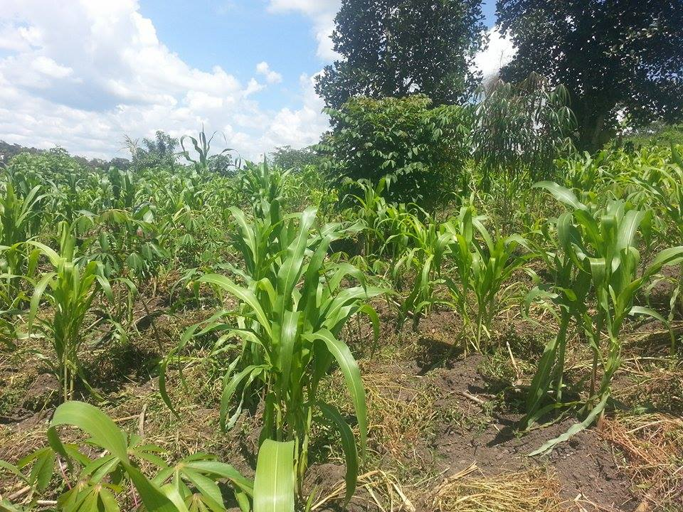 Maize crop growing in Kenya, Africa