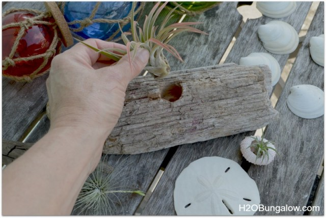 Mounting an airplant in driftwood