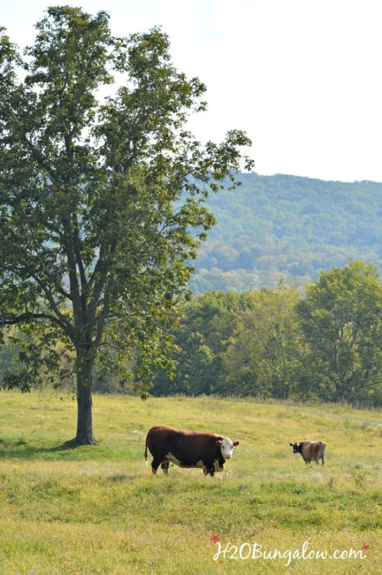 cows-in-paasture-h2obungalow