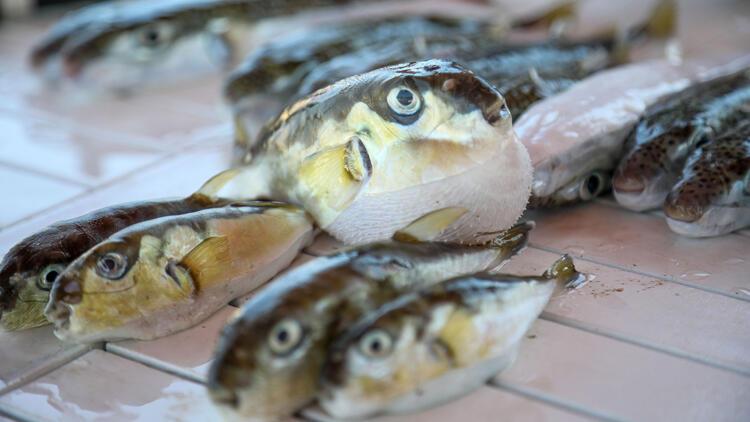 Balon balığı tehlikesi balık fiyatlarını da etkiledi!