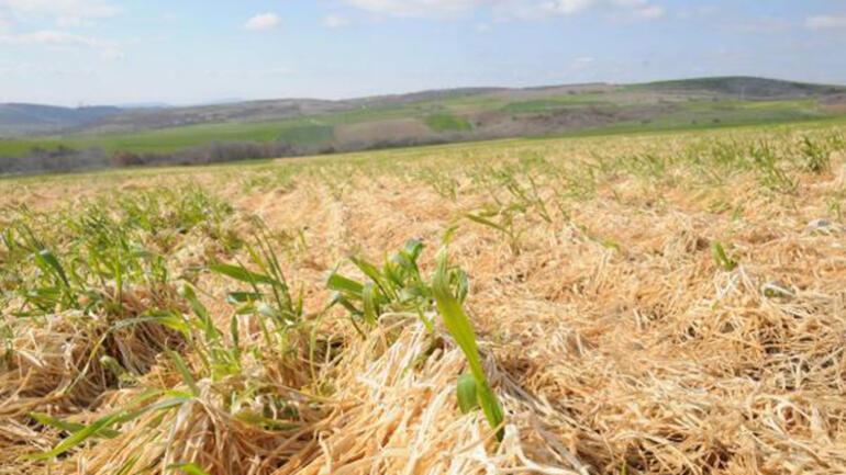 Trakyada zirai don buğday tarlalarının sararmasına neden oldu