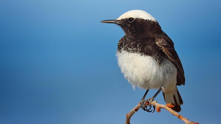 Çok nadir görülüyor! Antalya'da 'keşiş kuyrukkakanı' görüntülendi