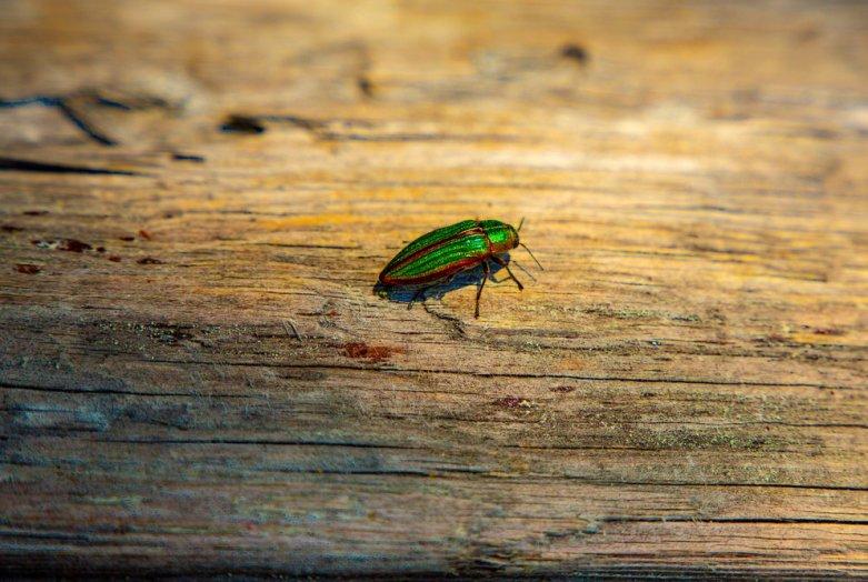 İklim krizi ve küçük bir böcek müzik tarihinin akışını değiştiriyor