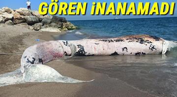 Mersinde 10 metre boyunda oluklu balina kıyıya vurdu Görenler inanamadı