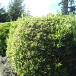 Plants As Screens Hedges And Hedgerows Habitat Horticulture Pnw