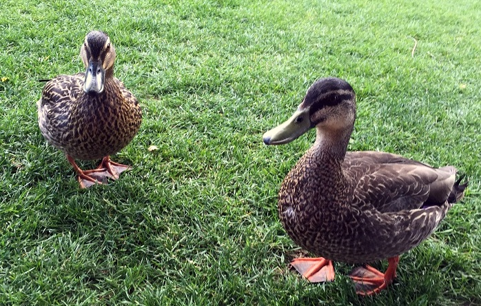 ducks-of-queenstown