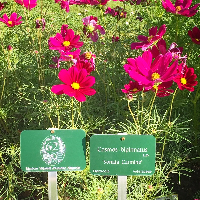 cosmos-bipinnatus-asteraceae