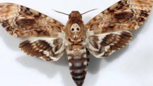 Las polillas o mariposas nocturnas