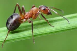 Las hormigas son insectos sociales,