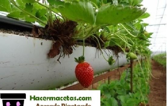fresas cultivadas en hidroponicos.