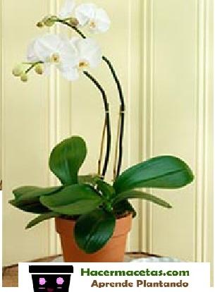 orquidea blanca en maeta de barro