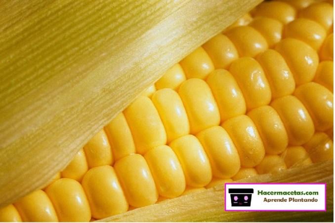 imagen con masorca de maiz
