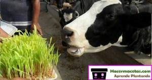 vaca lechera comiendo maiz de cltivo hidroponico