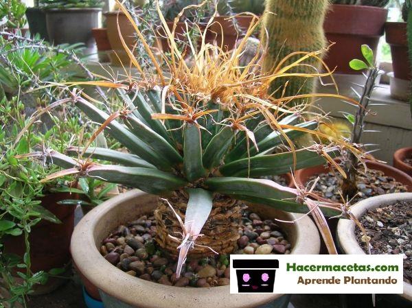 cactus op 10