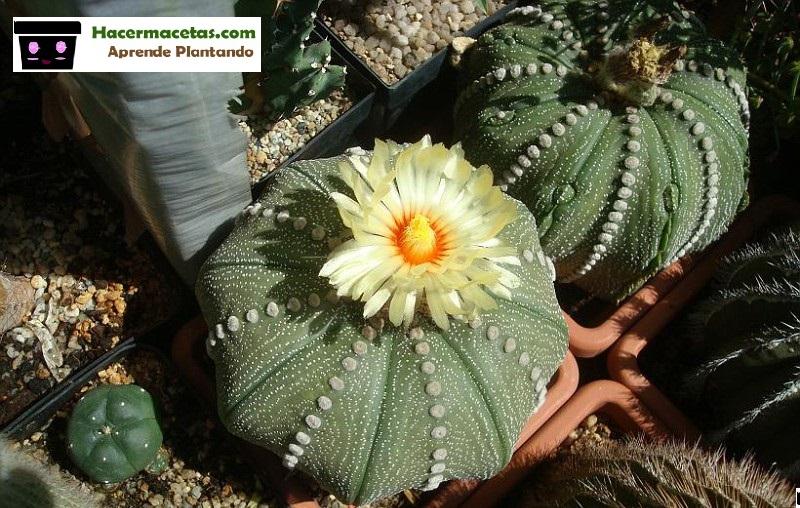 Astrofito floriada