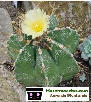 Cactus Estrella de puntas
