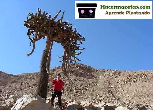 cactus candelabros