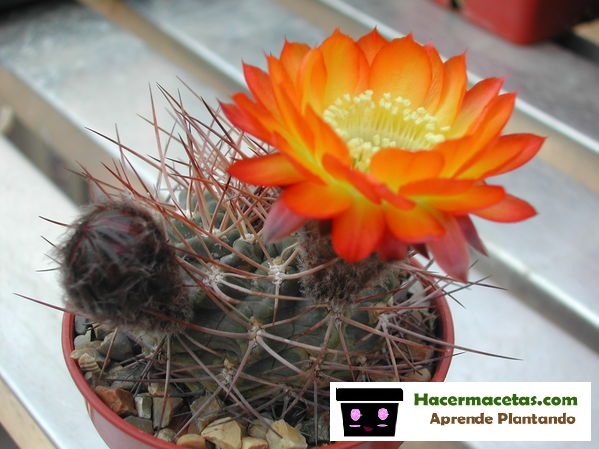 cactus exotico flores naranjas